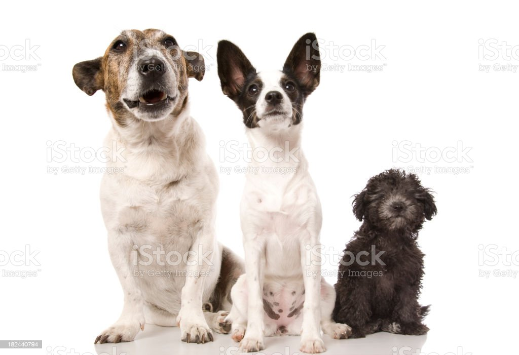 Three dogs ordered left to right from biggest to smallest stock photo