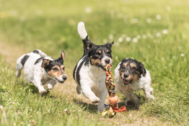 drei Hunde spielen und toben im über eine Wiese. Jack-Russell-Terrier – Foto