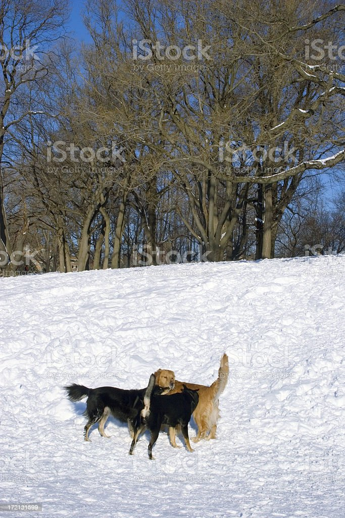 Three Dogs Playing in the Snow royalty-free stock photo
