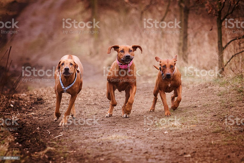three dogs (group of dogs, Rhodesian Ridgeback) running down stock photo