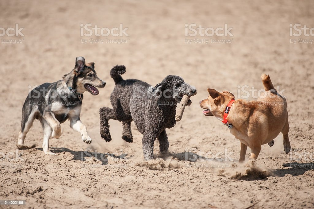 Three dogs running with a stick outside in the dirt. stock photo