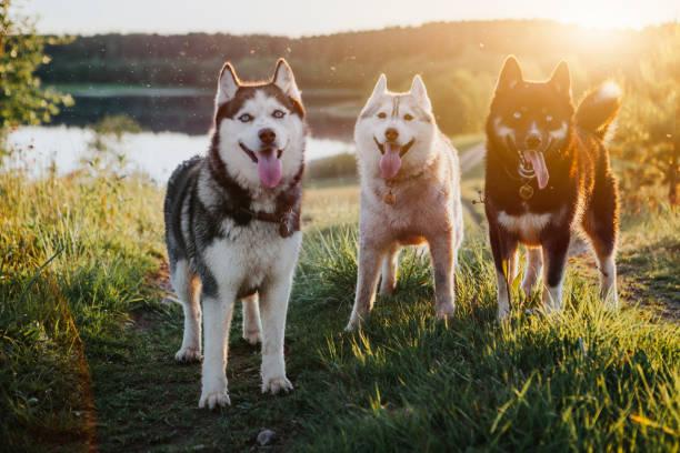 Drei Hunde sibirischen Husky in der Natur – Foto