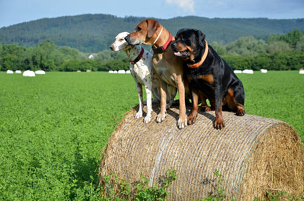 Three dogs sit on roll of straw on green meadow - foto de stock