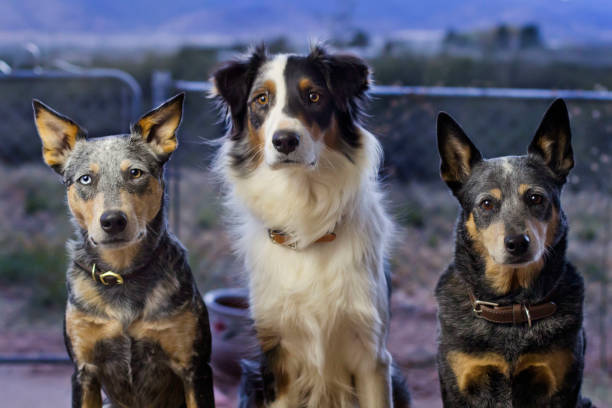 Three dogs sitting outside bust shot stock photo