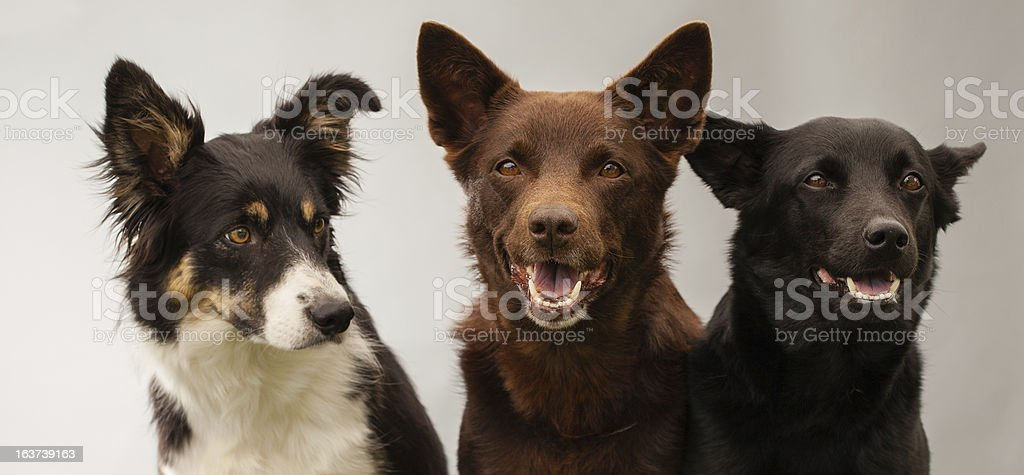 three dogs sitting together in studio stock photo