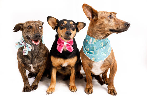 Three dogs sitting wearing bandanas Mutt dog studio portrait series. protruding stock pictures, royalty-free photos & images