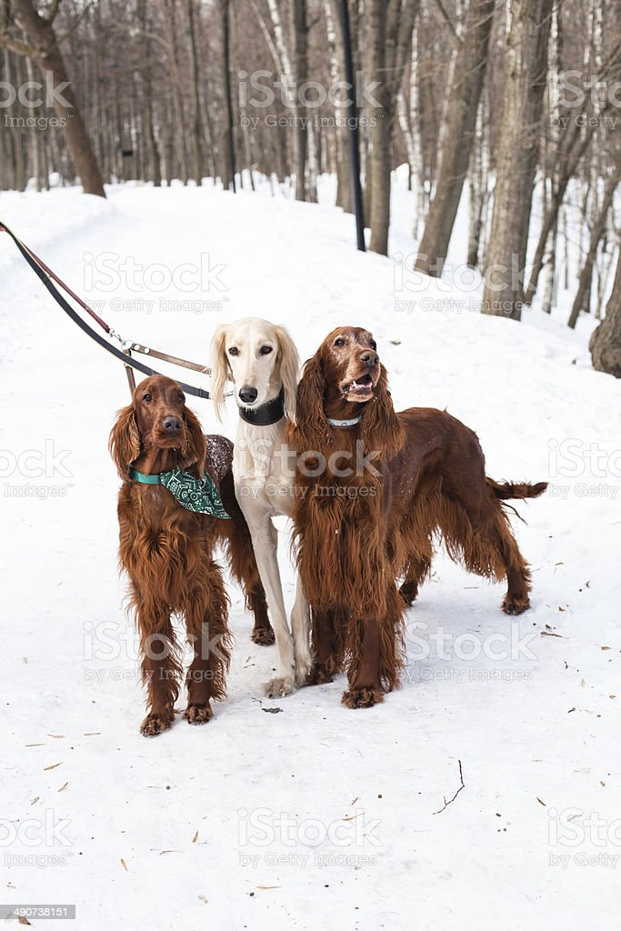 Three dogs standing royalty-free stock photo