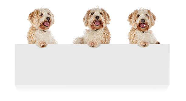 Three dogs standing up behind a white cardboard picture id155385769?b=1&k=6&m=155385769&s=612x612&w=0&h=vxlc61xft1rt5eczzfrzoosb 2enwc6tgyu3sgweiao=