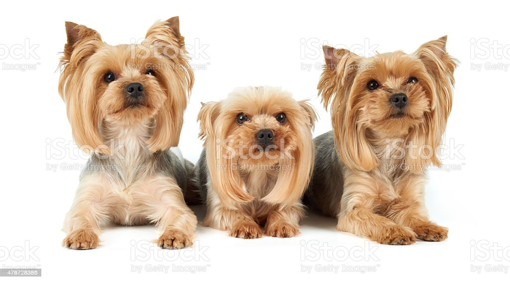 Three dogs with haircut stock photo