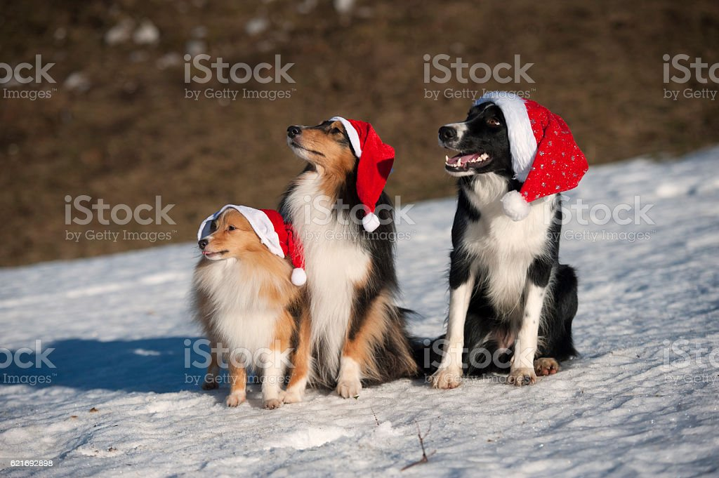 Three dogs with Santa hats in snow stock photo