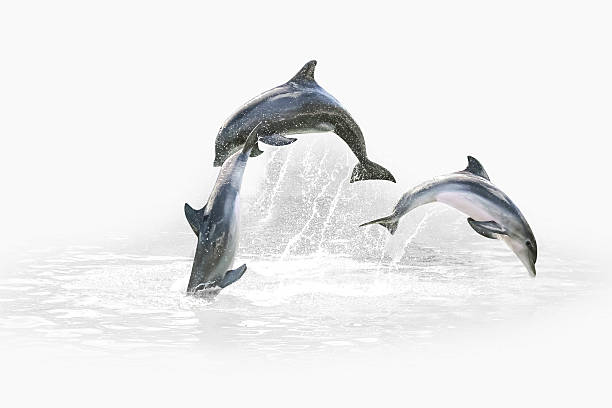 Three Dolphin jumping Three grey dolphins jumping in the water playing with each other. Isolated on white background with water in the background. dolphin stock pictures, royalty-free photos & images
