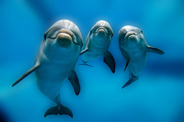 three dolphins close up portrait underwater while looking at you dolphin portrait detail of eye while looking at you from ocean dolphin stock pictures, royalty-free photos & images