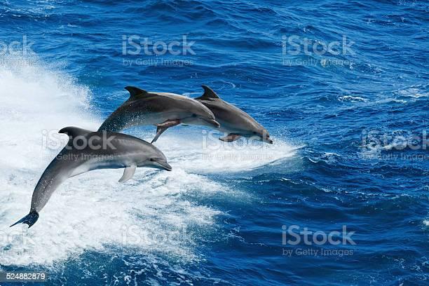 Three dolphins picture id524882879?b=1&k=6&m=524882879&s=612x612&h=rm5pq24xmmcjapzwxcwjidjuoducxbrm2e wojdd8as=