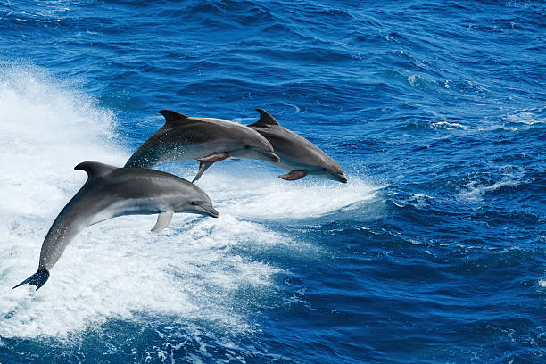 Three dolphins Marine wildlife background - three bottlenone dolphins jumping over sea waves dolphin stock pictures, royalty-free photos & images
