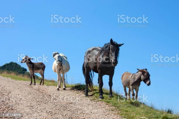 Photo of Three donkeys and a black horse