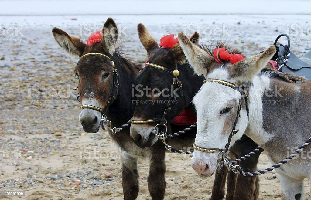 three donkeys on beach England stock photo