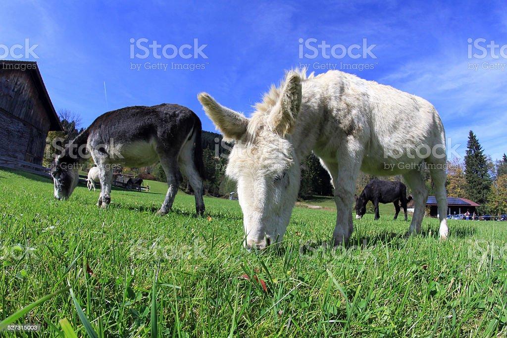 three donkeys stock photo