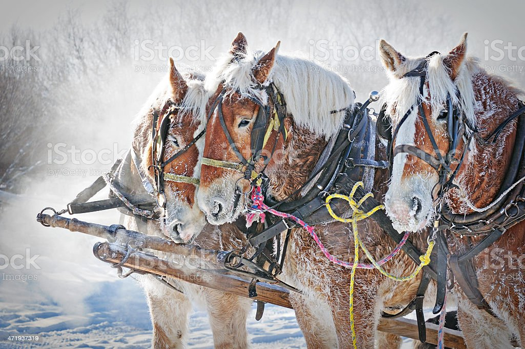 Three Draft Horses 39 BELOW zero stock photo