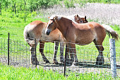Three big palomino horses standing by the fence.