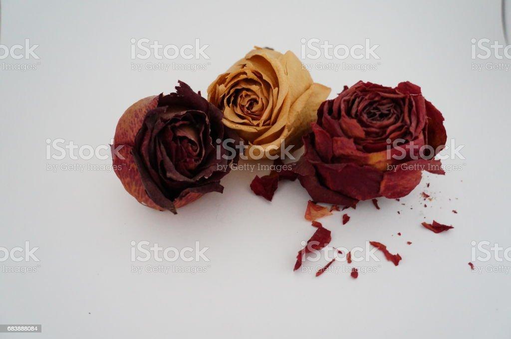 Three dried roses stock photo