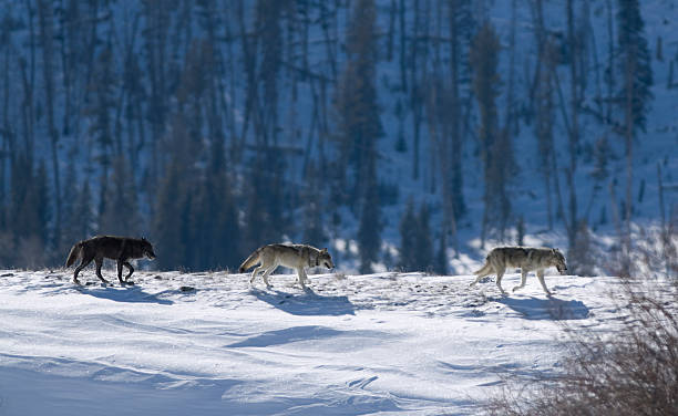Three Druid timber wolves on snow in Yellowstone stock photo