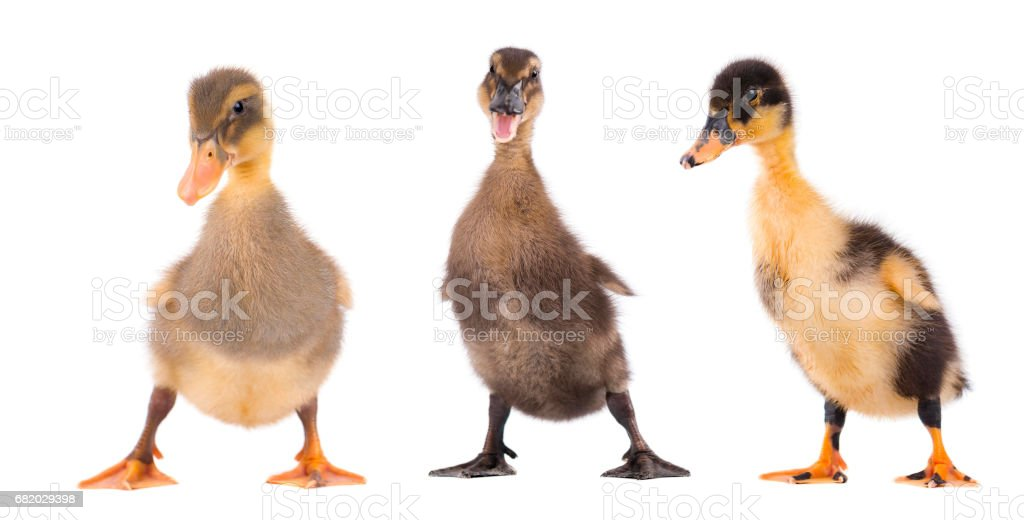 Three duckling standing isolated on white background - foto stock