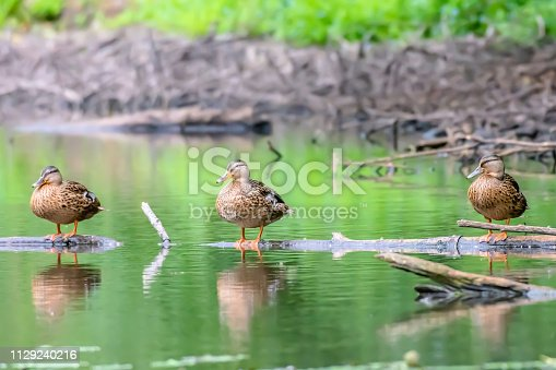 Wildlife photography.Three ducks perching on wooden log swimming on pond surface.Bright and vibrant image with space for copy.