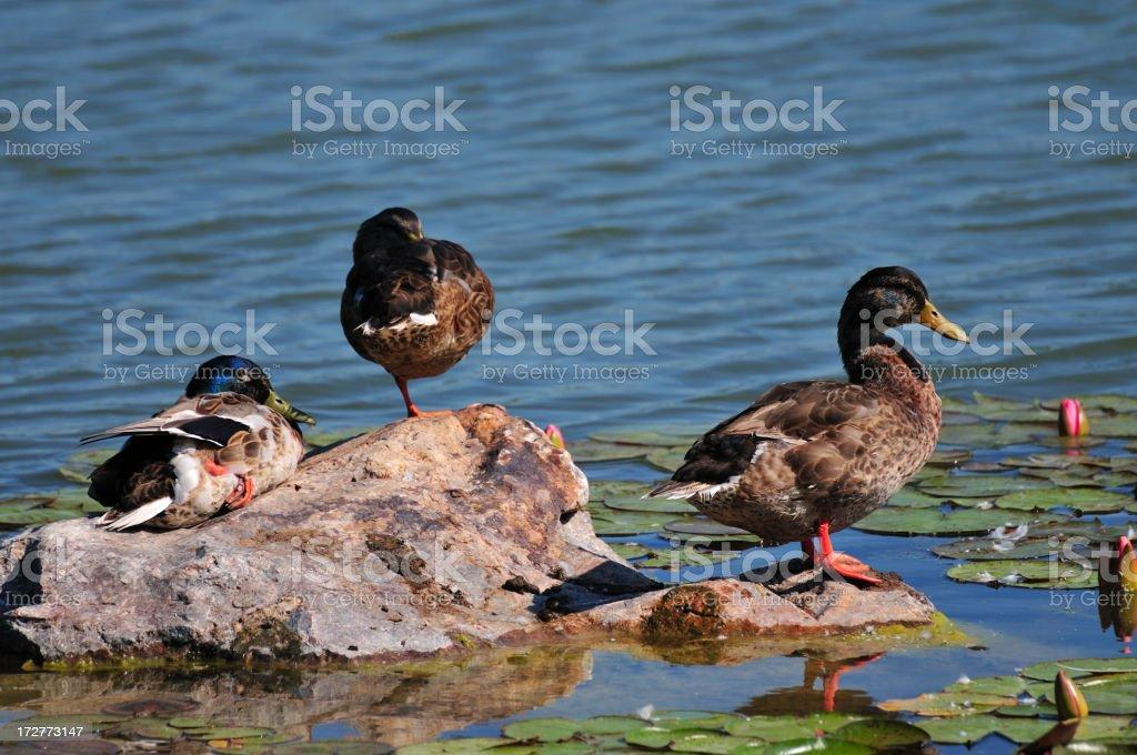Three Ducks royalty-free stock photo