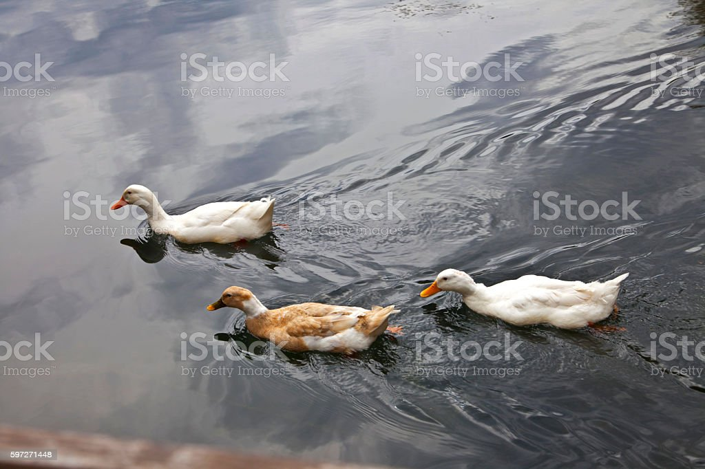 Three ducks swimming in the river royalty-free stock photo