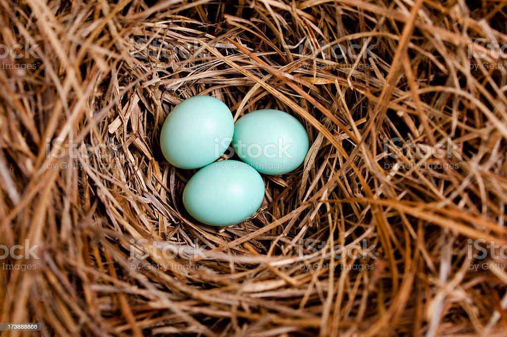 Three Eastern Bluebird eggs in a nest box. stock photo