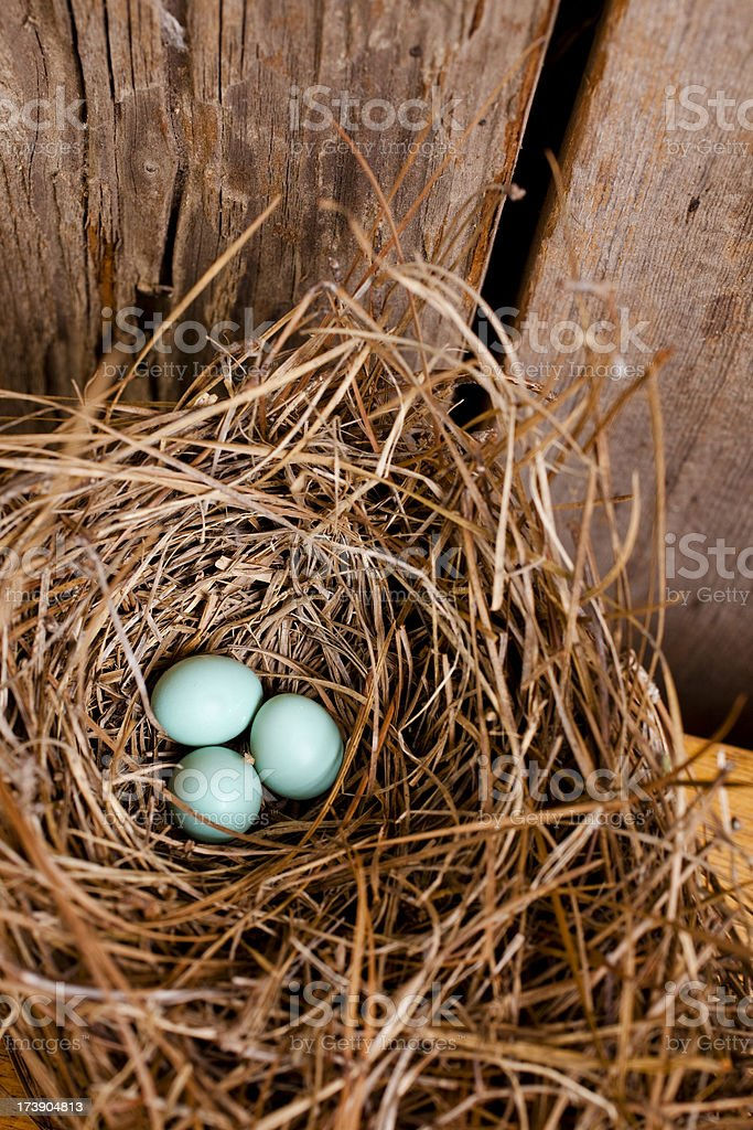 Three Eastern bluebird eggs in a nest box. royalty-free stock photo