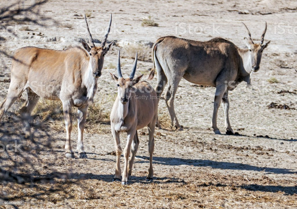 Three eland looking at camera in the wildlife reserve, South Africa stock photo