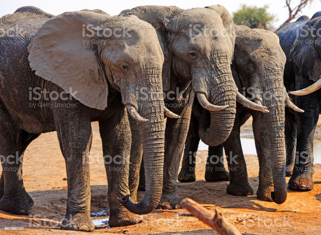 Three Elephants standing next to each other in a straight line stock photo