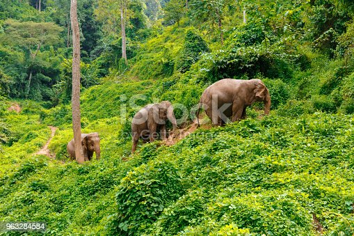 Three elephants walk at the jungle in Chiang Mai Thailand