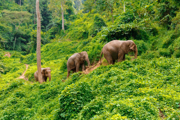 Three elephants walk at the jungle in Chiang Mai Thailand Three elephants walk at the jungle in Chiang Mai Thailand chiang mai province stock pictures, royalty-free photos & images