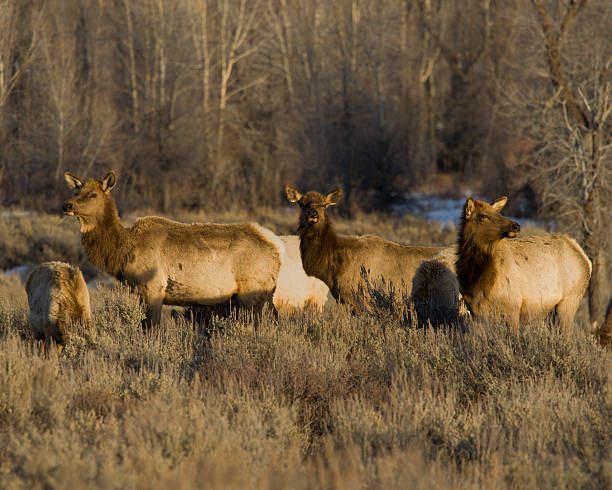 Three Elk stock photo