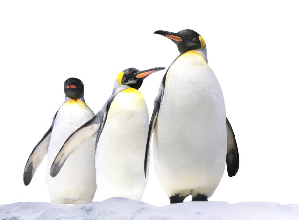 Three Emperor penguins on snow Three Emperor penguins (Aptenodytes forsteri) on snow. Isolated on white background emperor penguin stock pictures, royalty-free photos & images