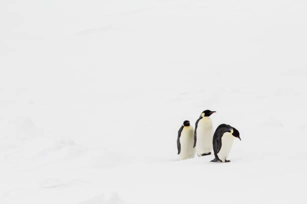 three emperor penguins walking three emperor penguins wailking in a line emperor penguin stock pictures, royalty-free photos & images