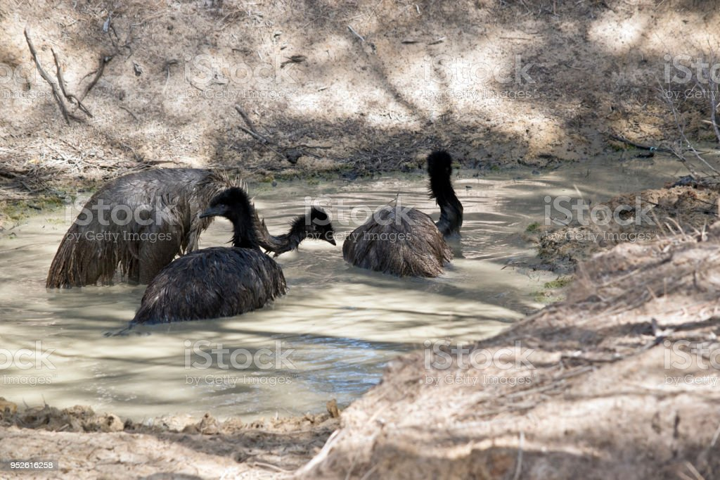 three emus stock photo