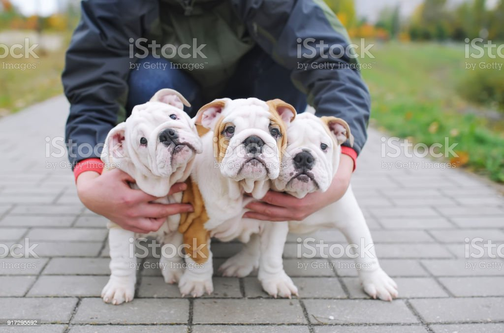 Three English Bulldog Puppies Stock Photo Download Image Now Istock