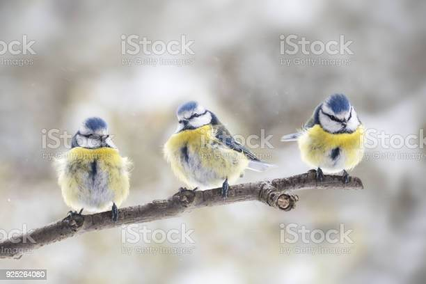 Photo of three eurasian blue tits (Cyanistes caeruleus) sitting together on a branch in the wind, the small passerine bird is also called chickadee or titmouse, copy space