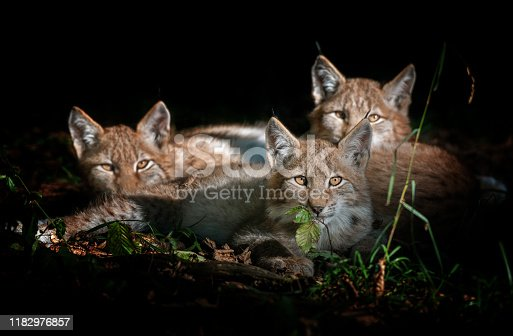 Three beautiful eurasian lynx kitten resting in a forest, illuminated by the sunlight.