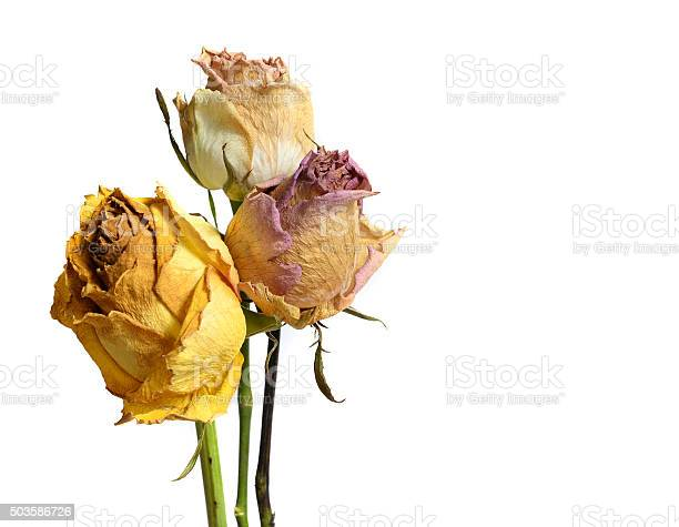 Three faded withered rose flowers isolated on white picture id503586726?b=1&k=6&m=503586726&s=612x612&h=vxx3k1f6ffexo hxomig9hquvwxkrkgbxynzfoq5sv8=