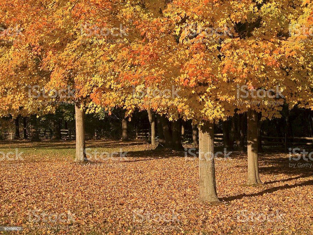 Three Fall Trees royalty-free stock photo