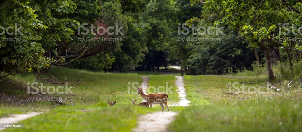 Three fallow deer on a forest track stock photo