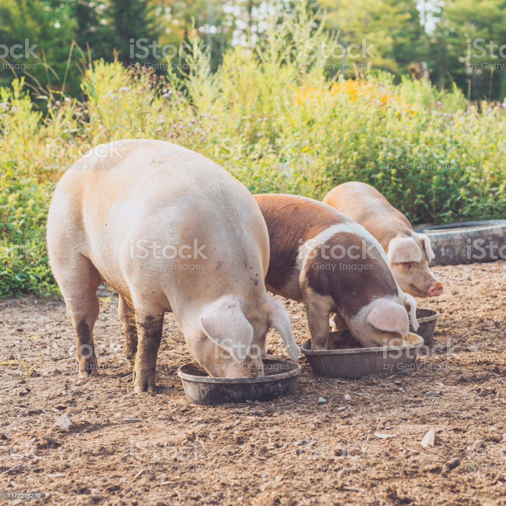 Three Farm Pigs Eating a Meal Together - Royalty-free Animal Body Part Stock Photo