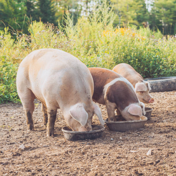 Three Farm Pigs Eating a Meal Together stock photo
