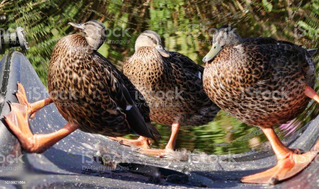 Three fat ducks female mallards fratal transformation stock photo