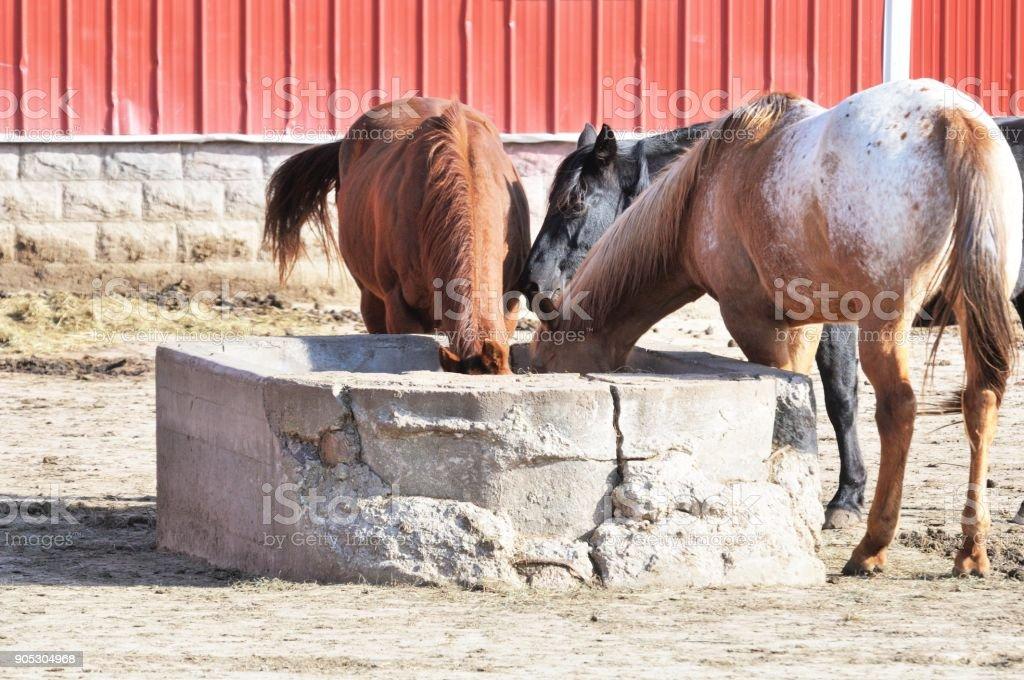 Three Feeding Horses stock photo