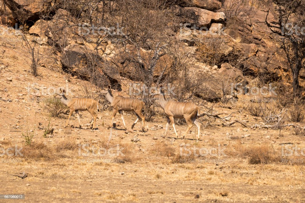 Three female Kudus Walking through Savannah of South Africa, Mapungubwe National Park stock photo